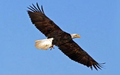 8 Traits You Can Learn From Bald Eagles